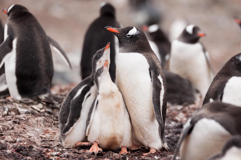 antarktis-pinguin-nachwuchs